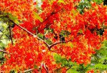 Photo of মেহেবুব হকের কবিতা 'কৃষ্ণচূড়ায় ছোঁয়া'