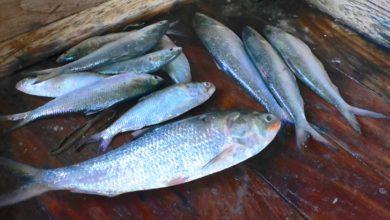 Photo of সাগরে ইলিশের আকাল, এক সপ্তাহে মিলেছে ১০ মাছ