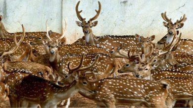 Photo of ৫০ হাজার টাকায় বিক্রি হবে জাতীয় চিড়িয়াখানার হরিণ